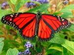 Sajak Kupu-kupu Jantan