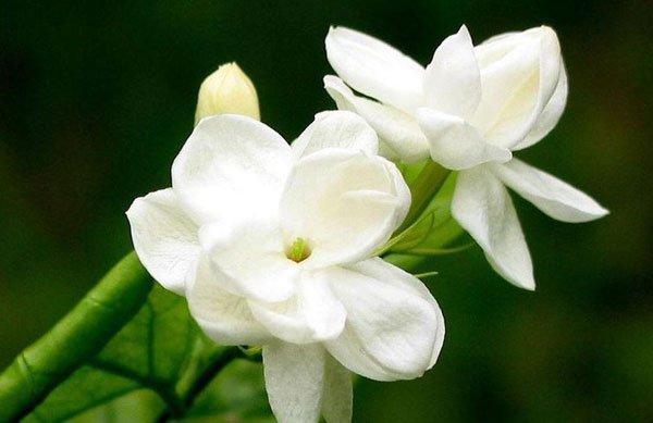 Kisah Bunga Melati