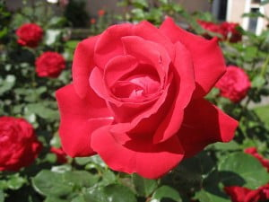taman-bunga-mawar-merah